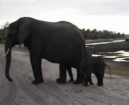 Слоненок испугался собственного чиха (1.041 MB)