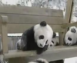 Миленькие панды (943.866 KB)