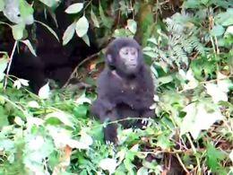 Маленькая горилла (3.797 MB)