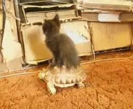 Котенок катается на черепахе (2.769 MB)