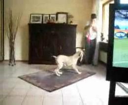 Собака ненавидит вавузелу (1.275 MB)