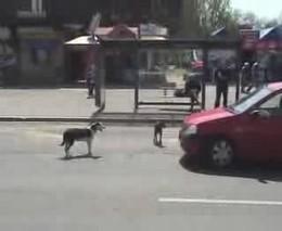 Собаки и авто (1.253 MB)