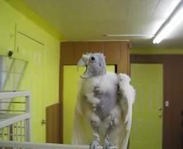 Смешной попугай (1.520 MB)