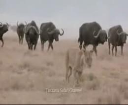 Три льва и толпа бизонов (5.737 MB)