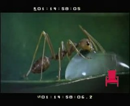 Как муравьи пьют воду (408.017 KB)