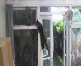 Кот как обезьяна (2.318 MB)