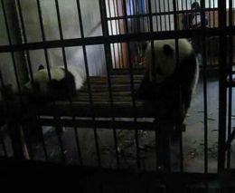 Побег панды (2.398 MB)