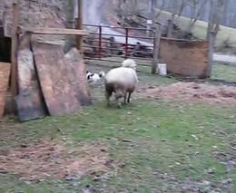 Пес и овца (6.485 MB)