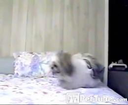 Собака ныряет в кровать (2.665 MB)