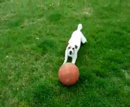 Собака-жонглер