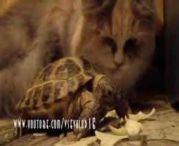 Черепашка и икающий котяра (4.733 MB)