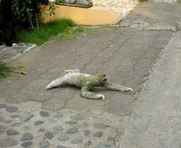 Трехпалый ленивец ползет через дорогу (4.890 MB)