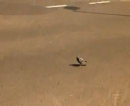 Смелый голубь (472.806 KB)