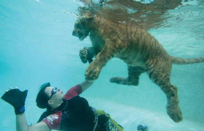 Девушки плавают с тиграми )10 фото)