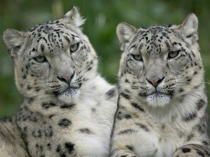 Большие кошки (14 фото)