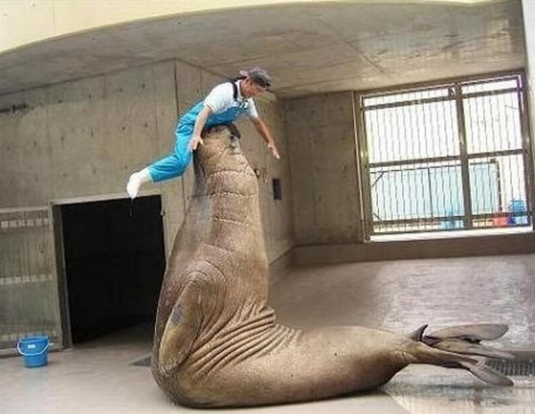 Дрессированный морж (10 фото)