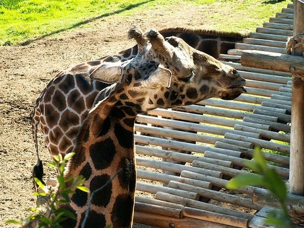 Жираф с кривой шеей (10 фото)