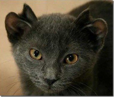 Кот с четырмя ушами (2 фото)