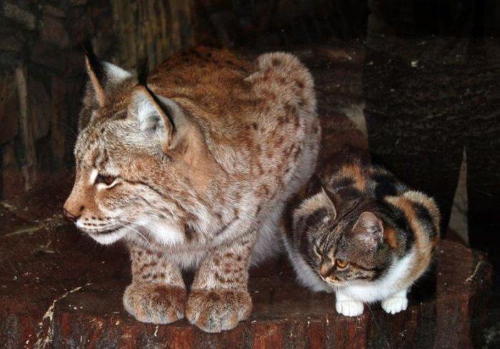 Дружба кота и рыси (4 фото)