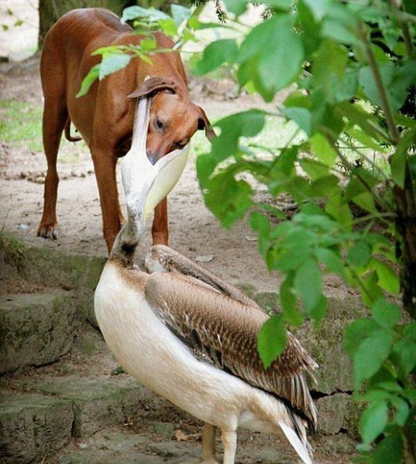 Не шути с пеликаном (2 фото)