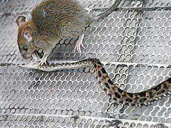 Крыса против змеи (2 фото)