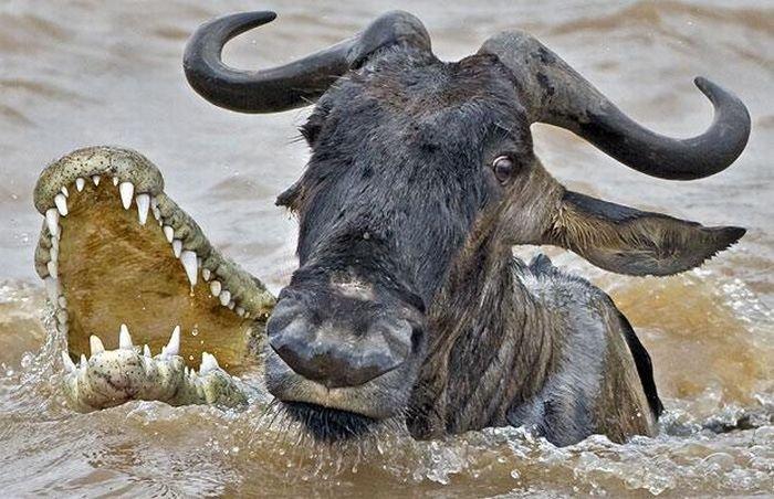 Крокодил дважды обломался (5 фото)