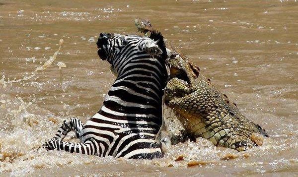 Крокодил пытается отобедать (6 фото)