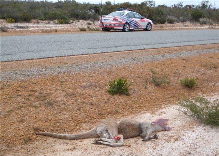 Полицейский автомобиль сбил кенгуру (3 фото)