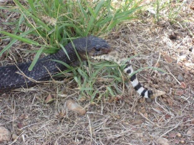 Голодная змея (5 фото)