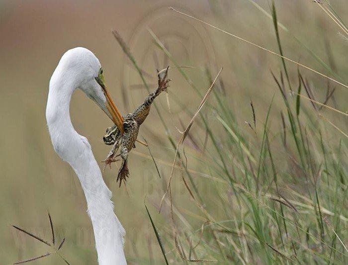 Цапля поедает лягушку (20 фото)