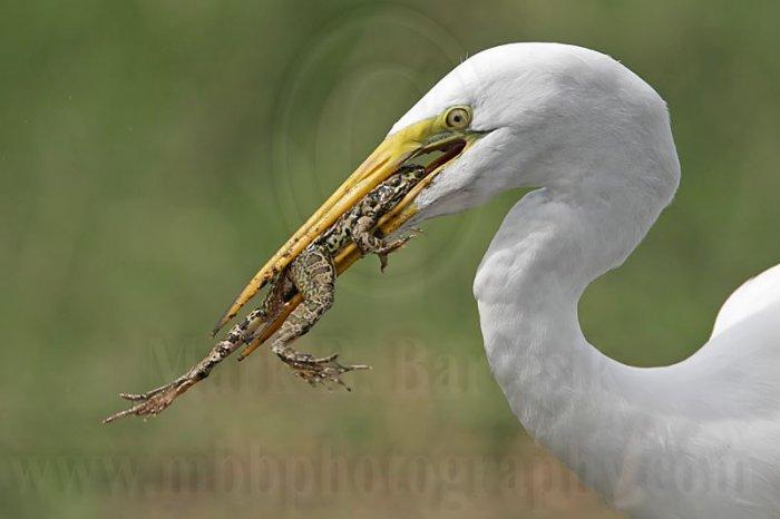 Цапля в водоеме за ловлей на лягушек
