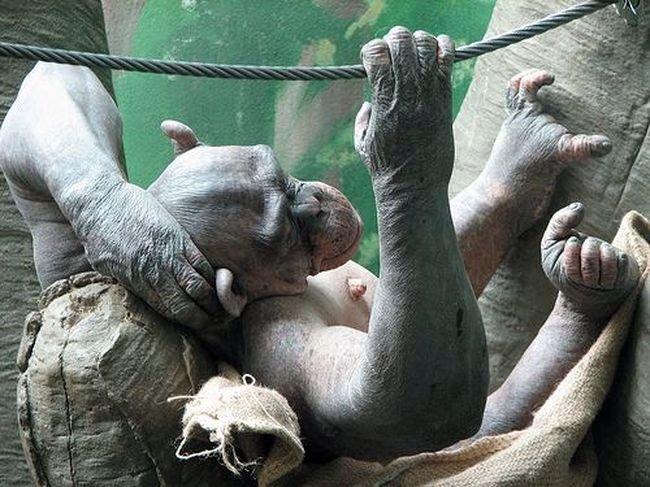 Лысая обезьянка (9 фото)