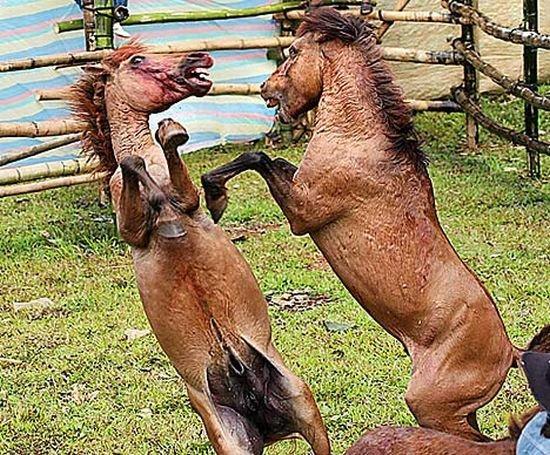 Лошадиные бои (4 Фото)