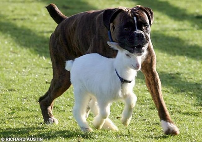 Пес и козленок:-) (3 фото)