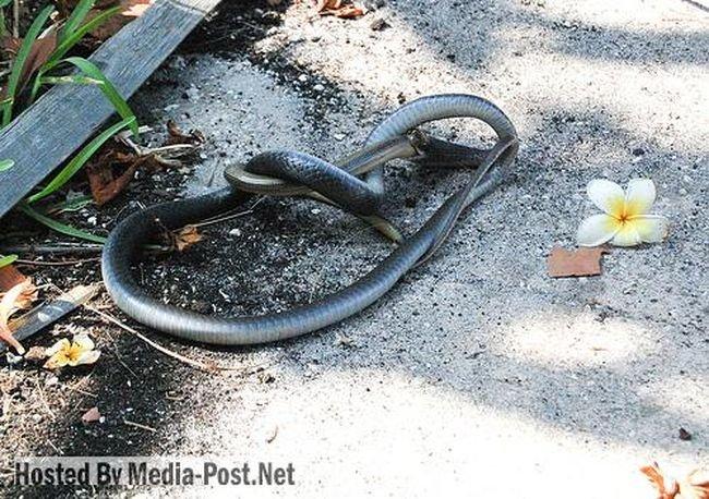Змея ест змею (10 фото)