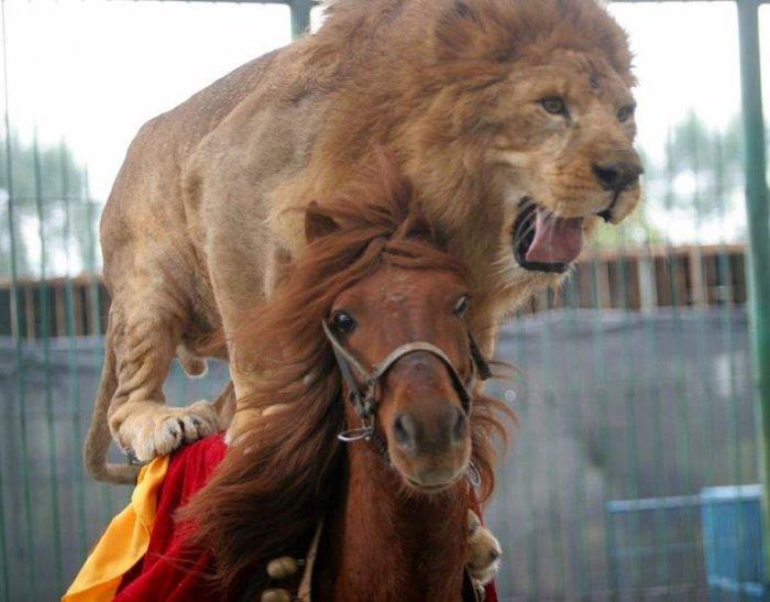 Лошадь катает тигра и льва (3 фото)