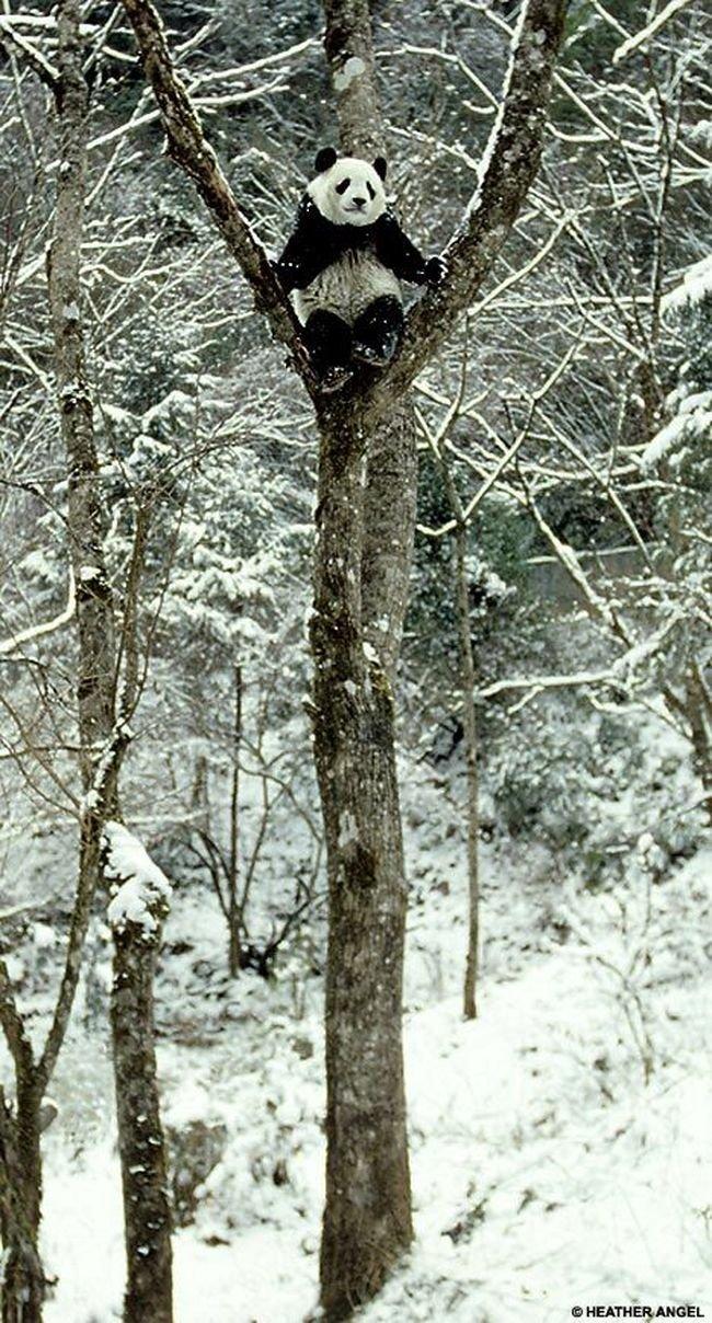 Панда (4 фото)