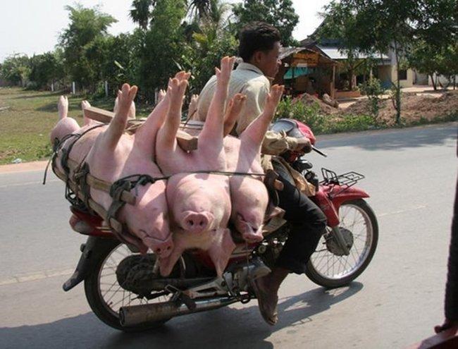 Как перевозят свиней в Тайланде (17 фото)