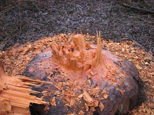 Что могут сделать бобры с деревом (4 фото)