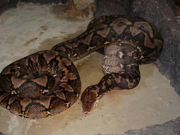 Змея ест кабана (5 фото)