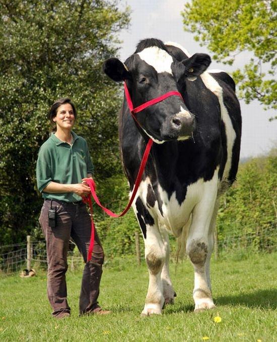 Самый большой бык в мире! (4 фото)