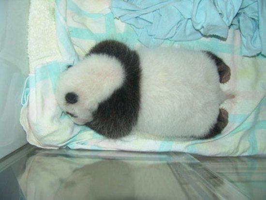 Как растет панда (11 фото)