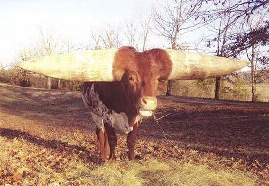 Огромные рога! (8 фото)