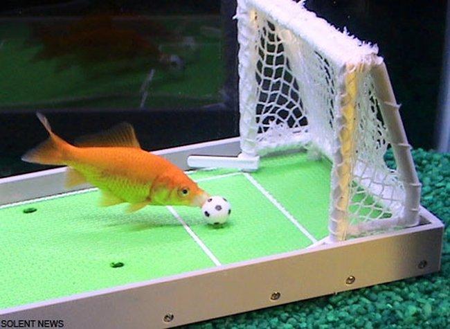 Дрессированная золотая рыбка (7 фото)