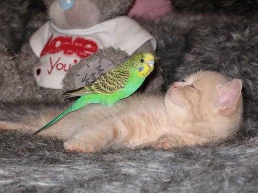 Дружба котенка и попугайчика! (15 фото)