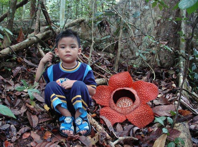 Раффлезия - самый большой цветок (17 фото)