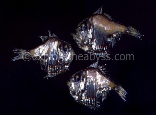 Жители океанских глубин (46 фото)