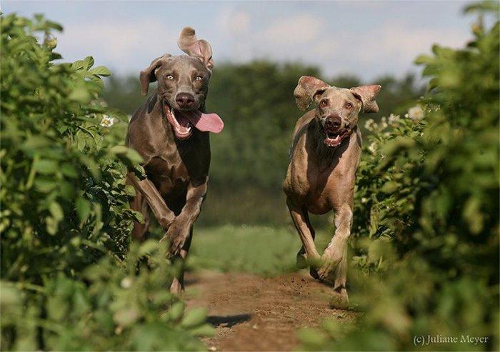 Стоп-кадр. Бегущие собаки (36 фото)
