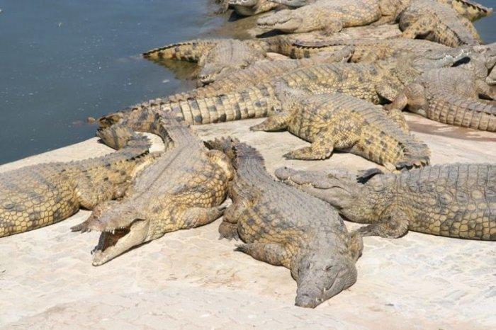 Крокодиловая ферма (5 фото)