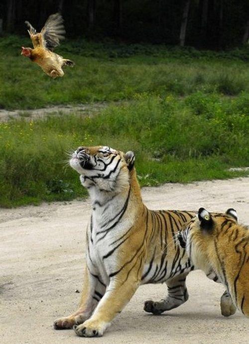 Как курица научилась летать (3 фото)